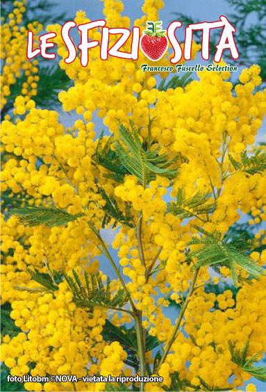 I Italien är Mimosa symbol för Internationella kvinnodagen den 8 mars – Festa delle Donne l'8 Marzo